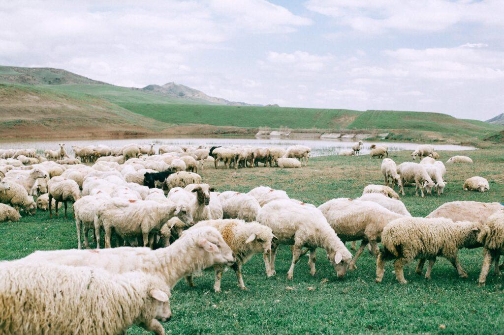 setor de ovinos